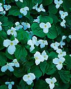 Trilliums, Trillium grandiflorum, carpeting beech-maple forest floor north of Conway, northern Lower Peninsula of Michigan.