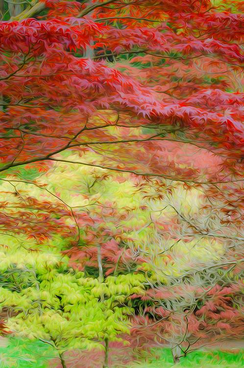 Japanese maple, April, Washington Park Arboretum, Seattle, Washington, USA