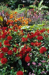 The exotic garden at Great Dixter with Dahlia 'Alva's Doris '  (red) in foreground, Dahlia 'David Howard ' (Orange), Musa basjoo, and Canna indica purpurea.