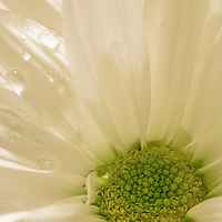 close up of a young daisy with water drops