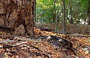 Dumerli's ground boa (Acrantophis dumerili) from the forest floor of Berenty, southern Madagascar.