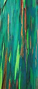 Painted bark eucalyptus, along the Hana Coast, Island of Maui, Hawaii  1994