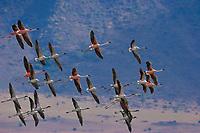 Aerial view of flamingos flying over Lake Bogoria, Kenya