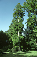Western Red Cedar Thuja plicata (Cupressaceae) HEIGHT to 45m Tall, conical with buttressed trunk and upright leading shoot. BARK Reddish-brown with fibrous plates. LEAVES Tiny, scale-like, clasping shoots in alternate, opposite pairs; glossy, dark green above, paler below with pale markings. Crushed leaves pineapple-scented. REPRODUCTIVE PARTS Male and female cones on separate trees. Small yellow or brownish male cones grow at shoot tips. Female cones ovoid, up to 1.2cm long, with 8-10 spine-tipped scales. STATUS AND DISTRIBUTION Native of W USA, grown here for timber or ornament.
