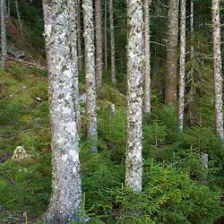 Spruce forest on Sugar Island in Maine USA