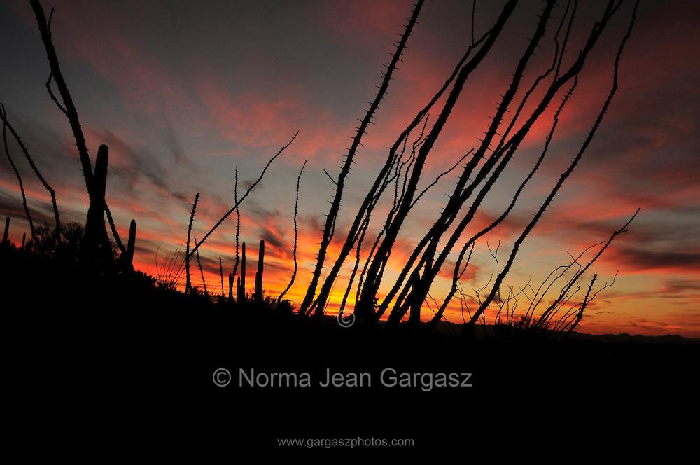 A Winter sunset silhouettes saguaro cactus (Carnegiea gigantea) and ocotillo in Tucson Mountain Park in the Sonoran Desert,Tucson, Arizona, USA.