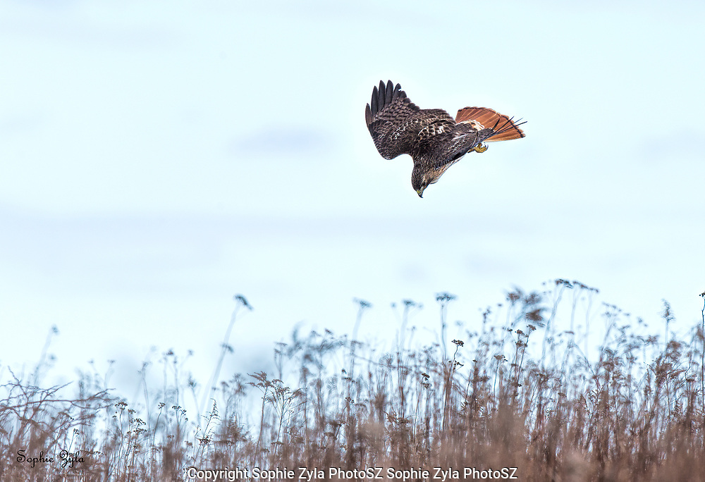 Red-tailed Hawk Going For It!