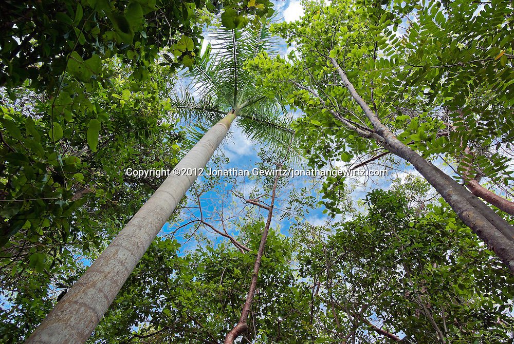 View up into the tops of hardwood and palm trees along the Gumbo Limbo trail in Everglades National Park, Florida. WATERMARKS WILL NOT APPEAR ON PRINTS OR LICENSED IMAGES.
