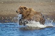 Alaskan brown bear running in stream