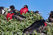 great frigatebirds, Fregata minor palmerstoni, male courtship display with inflated throat pouch; females at upper left; Eastern Island, Midway Atoll, Midway National Wildlife Refuge, Papahanaumokuakea Marine National Monument, Northwest Hawaiian Islands, USA ( North Pacific Ocean )