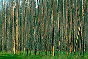 Larch trees in a wood in Canada