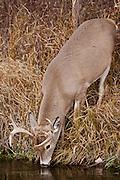 Whitetail deer (Odocoileus virginianus)drinking from stream
