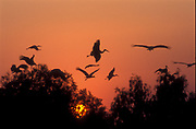 a flock of White storks (Ciconia ciconia) flying over treetops at sunset. The white stork is found in parts of Europe and southwestern Asia, and is a winter migrant to Africa and southern India. Photographed in Israel in winter