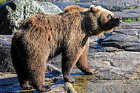 Sweden, Stockholm, Skansen zoo. Brown bear.