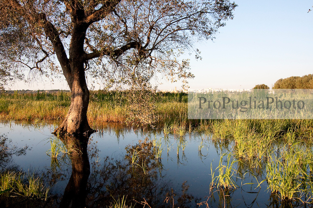 """Alberi di ulivo che sorgono nei campi allagati dalle acque del depuratore della zona """"Vore"""" di Casarano. Sullo sfondo è visibile la piccola cittadina che con i suoi liquami inquina l'intera zona"""