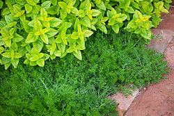 Chamaemelum nobile - Chamomile - with Origanum vulgare 'Aureum' AGM - Golden marjoram, Golden oregano.