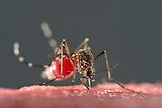 Bloodsucking Yellow fever mosquito (Aedes aegypti) is the vector for transmitting Zika virus, yellow fever virus and dengue fever.   Bernhard Nocht Institute for Tropical Medicine; (BNI). Hamburg, Germany | Die Gelbfiebermücke (Aedes aegypti) saugt sich auf einem mit Blut gertänktem Wattestück voll. Die Gelbfiebermücke (Aedes aegypti) kann unterschiedliche Viruserkrankungen übertragen, darunter Gelbfieber, Dengue-Fieber und Zika-Fieber. Sie wird auch Denguemücke oder Ägyptische Tigermücke genannt. Die Stechmücke kommt nur in den Tropen und Subtropen vor. Bernhard-Nocht-Institut für Tropenmedizin, Hamburg, Deutschland