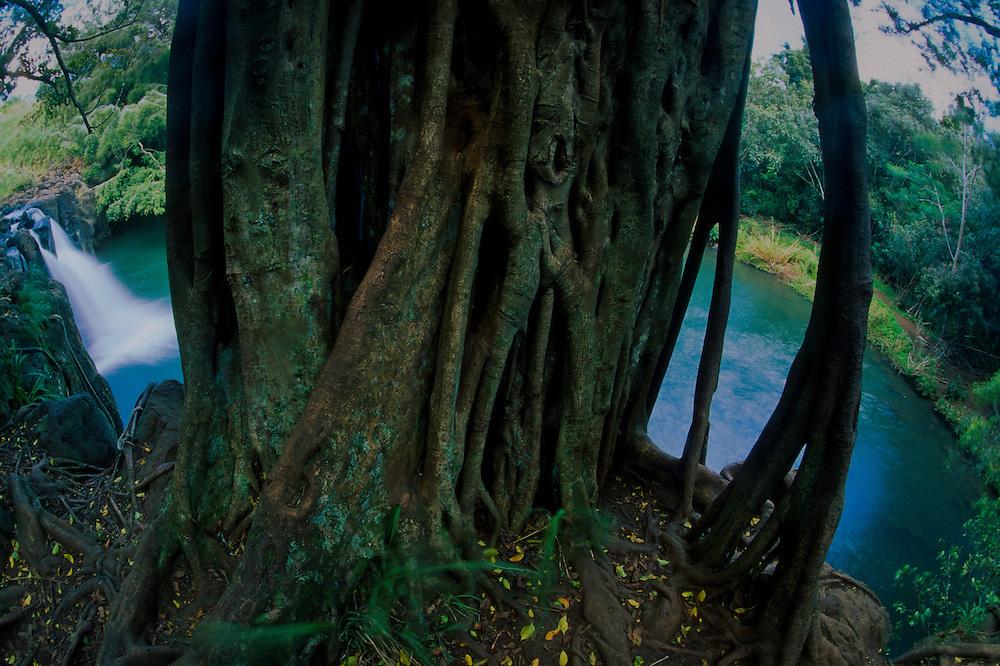 Banyan (Ficus benghalensis) Tree at Kipu Falls, Kauai, Hawaii, US