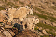 Mountain goat nanny with kids during summer in Colorado