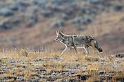 Coyote in sagebrush habitat.