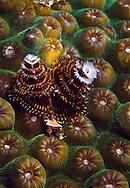 Horned Feathered Christmas Tree Worm (Spirobranchus giganteus) Bonaire