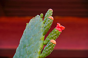 Red flowers of an Opuntia cactus , commonly called prickly pear, is a genus in the cactus family, Cactaceae photographed in a Cactus and succulent garden Photographed in Israel in October