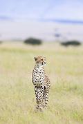 Cheetah <br /> Acinonyx jubatus<br /> Masai Mara Conservancy, Kenya