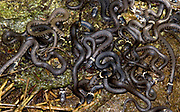 A mass of writhing young blind grass snakes (Natrix natrix) uncovered in a Norfolk garden compost heap in late summer