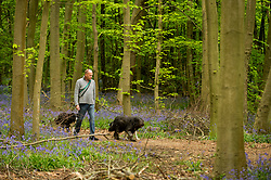 © Licensed to London News Pictures. 27/04/2020. CHORLEYWOOD, UK. A man walks his dogs amongst the bluebells in flower in Philipshill Wood near Chorleywood, Hertfordshire.  The recent warm weather has brought this native species, Hyacinthoides non-scripta, into bloom a few weeks earlier than usual.  A change in the weather is forecast for the next few days with rain and lower temperatures.  Photo credit: Stephen Chung/LNP