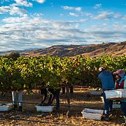 Wine grape harvest near Hollister, Calif. on Oct. 9, 2021.