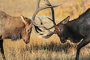 Two bull elk battle for dominance during the autumn rut. Bull elk with broken antler battles another bull and endangers his already injured left eye.