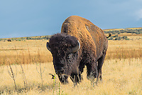 The American bison (Bison bison) is the only surviving species of bison in North America today.