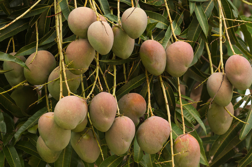 Common Mango or Indian Mango (Mangifera indica) – is the only mango tree commonly cultivated in many tropical and subtropical regions, and its fruit is distributed essentially world-wide.<br /> NATIVE TO INDIAN SUBCONTINENT<br /> mid Orinoco River, 110 Km north of Puerto Ayacucho. Apure Province, VENEZUELA. South America.