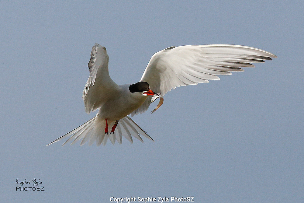 Common Tern in flight with fish
