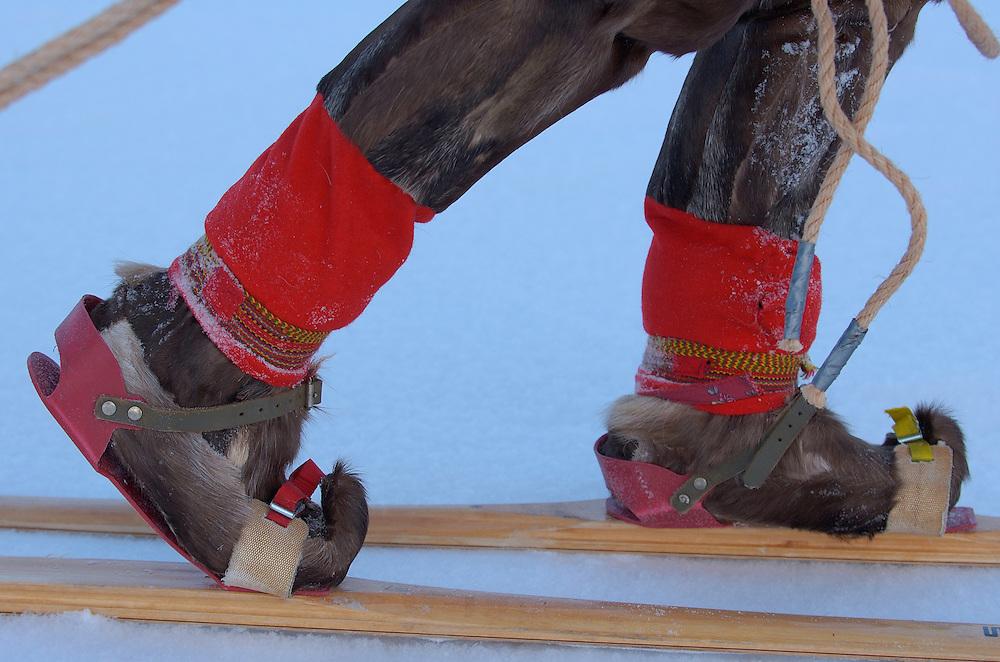 Reindeer sledding ecotourism expedition, Stora Sjofallet National Park, Laponia World Heritage Area, Lapland, Sweden.