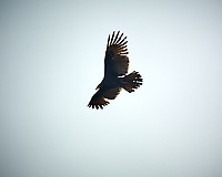 Turkey Vulture soaring. Image taken with a Nikon D4 camera and 600 mm f/4 VR lens (ISO 200, 600 mm, f/4, 1/1250 sec)