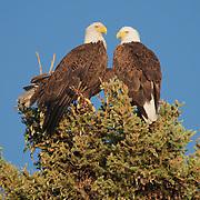 Bald eagle (Haliaeetus leucocephalus) adults sitting at the top of a pine tree. Island Lake, Duluth, Minnesota