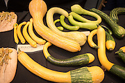 TROMBONCINO, Cucurbita moschata Showcase: Tromboncino breeding lines<br />