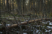 Spruce stand with lots of wooden debris - developing towards natural forest habitat, forests around River Amata, near Skujene, Latvia Ⓒ Davis Ulands | davisulands.com