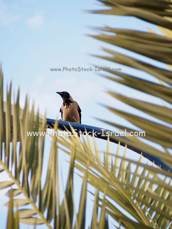 Hooded Crow (Corvus cornix) perched on a lamp post behind a tree. Photographed in Israel In November