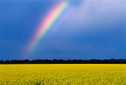 Rainbow and canola field after storm<br />Winnipeg<br />Manitoba<br />Canada