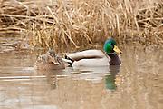 USA, Oregon, Baskett Slough National Wildlife Refuge, Mallard (Anas plathyrhynchos) pair