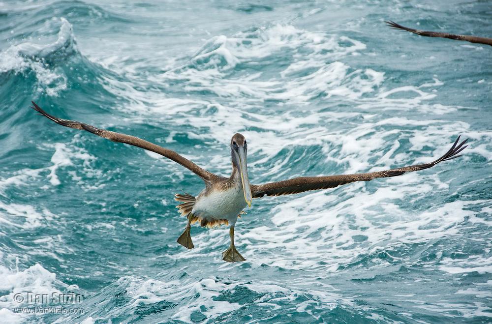 A Brown Pelican, Pelecanus occidentalis, flies over the Caribbean Sea near Gibara, Cuba