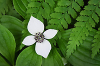 Bunchberry (Cornus canadensis) and Oak Fern (Gymnocarpium dryopteris)