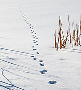 SUBJECT: Winter story. IMAGE: Reeds and the shadows of reeds on a snow-covered frozen pond promise that life will return with the strengthening sun. A visitor has passed by, recently, still active despite the cold.
