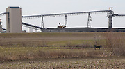 022312tvcoalandcowcountry.A solitary cow grazes near the Prairie State Energy Campus in Washington County, Illinois..TIM VIZER/BELLEVILLE NEWS-DEMOCRAT