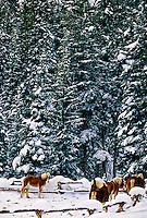 Horses, Lone Mountain Ranch, near Big Sky resort, Montana USA