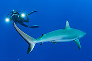 A Grey Reef Shark, Carcharhinus amblyrhynchos, patrols Tiputa Pass in Rangiroa, French Polynesia