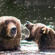 North America, United States, Northwest, Pacific Northwest, West, Alaska, Katmai, Katmai National Park, Brooks River, Grizzly bear, brown bear. Alaskan brown bears (grizzly) playing in the Brooks River, Katmai National Park, Alaska.