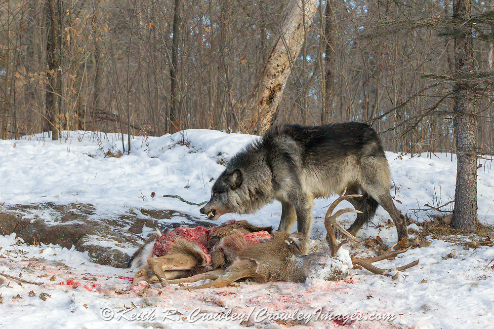 Gray wolves snarls over a deer carcass in wooded winter habitat. Captive pack.